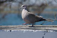 Close-up Of Mourning Dove On Stone Wall