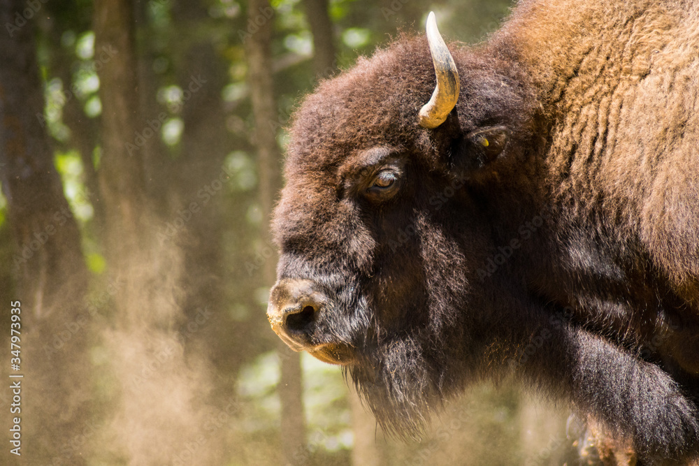 Brown buffalo breathing and surrounding by dust