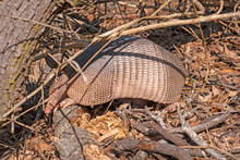 Nine Banded Armadillo Searchin...