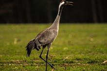 Sandhill Crane Perching On Field