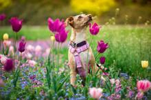 Whipet Siedzący W Tulipanach