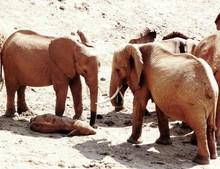 African Elephants Standing By Newborn Calf Lying Down