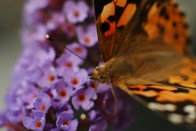 Macro Shot Of Comma Butterfly Pollinating On Purple Buddleia