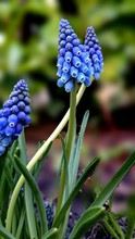 High Angle View Of Blue Grape Hyacinth Blooming Outdoors