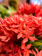 Beauty Red Santan Flowers In The Morning