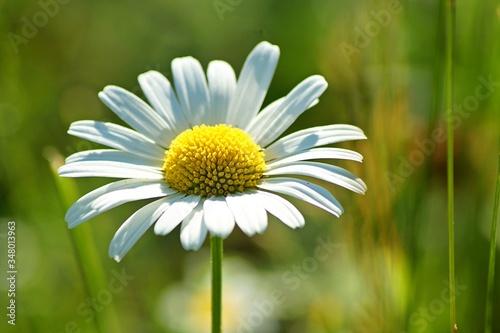 Fényképezés Close-up Of Daisy Flower