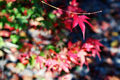 Wallpaper Mural Close-up Of Maple Leaf During Autumn