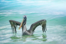 Pelican Floating On Sea