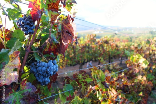 Close-up Of Grapes On Vine Fototapet