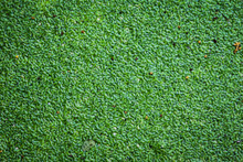 Green Duckweeds Floating On Th...