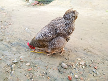 Colorful Rooster. Cock With Bl...