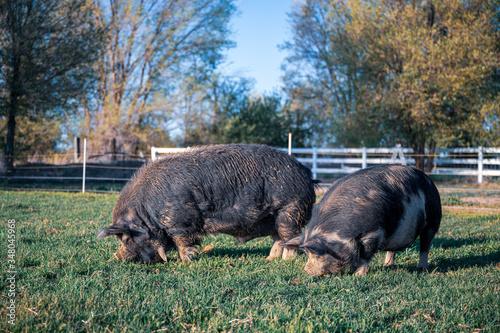pigs on a farm Fototapet