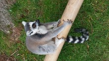 High Angle View Of Ring-tailed Lemur Relaxing On Wood