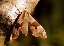 Close-up Of Hawk Moth On Tree Trunk