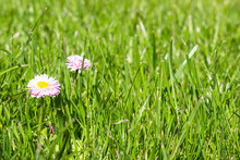 Two White And Pink Daisies Oxeye Daisy, Leucanthemum Vulgare, Common Daisy In Grass. Gardening Concept.