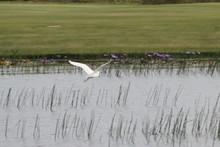 Snowy Egret Flying Over River