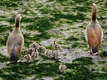 Rear View Of Egyptian Geese With Goslings On Moss Covered Field