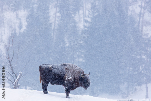 Obraz na plátně Bison or Aurochs in winter season in there habitat