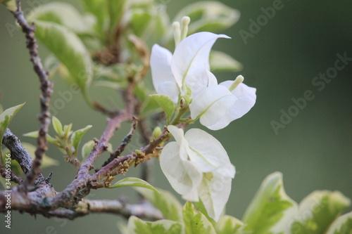 Fotografia White bougainvillea flowers bloom in full beauty in the city park