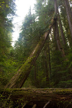 Fallen Tree Leaning Against Other Trees Over Hiking Trail With Nurse Log In Foreground At Bagby Hot Springs In Mt. Hood National Forest,  Oregon