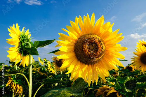 Fototapety, obrazy: Close-up Of Yellow Sunflower Against Sky