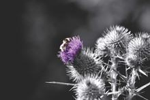 Close-up Of Bee Pollinating Thistle Flowers
