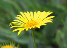 Doronicum, Known As Leopard's Bane. The Flower Of The Doronicum, Known As Leopard's Bane. Close-up, Selective Focus, Blurred Background.