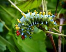 Close-up Of Cecropia Moth Caterpillar On Stem