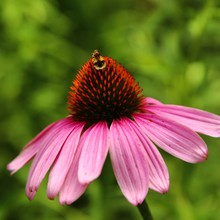 Close-up Of Insect On Eastern Purple Coneflower Blooming Outdoors