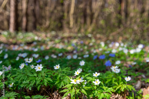 Photo Beautiful wild flowers white anemone and hepatica (liverleaf) blossom in forest