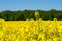 Zbliżenie Na Kwiaty Rzepaku Brassica Napus