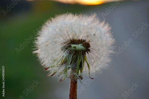 Fototapety, obrazy: Close-up Of Dandelion Flower