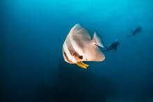 School Of Bat Fish Swimming In...