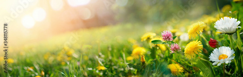 Fotografija Beautiful summer natural background with yellow pink flowers daisies, clovers and dandelions in grass against of dawn morning