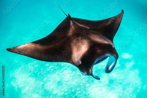 Fototapeta Manta ray swimming gracefully in clear blue water