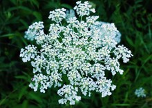 Close-up Of Queen Annes Lace Growing In Field