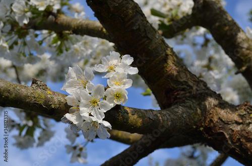 Branches de cerisier et ses quelques fleurs blanches Canvas Print