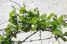 Leaves Of The Grape Plant In S...