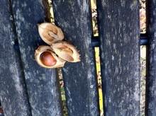 Chestnut In Bench