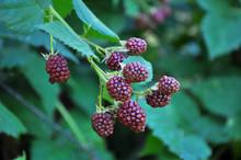 On The Branch Ripen The Blackberries (Rubus Fruticosus)
