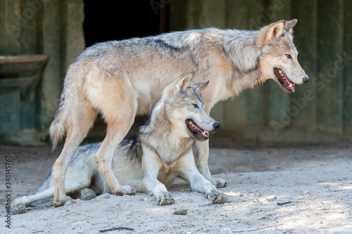 two wolves playing together at the zoo Fototapet