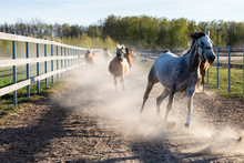 Galloping Horses In Dusty Terrain Between Fences. Equestrian Scene: Domestic Animals In Motion, Action.