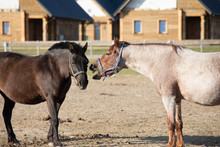 Pony With Open Mouth Close To Another Horse Looks Like Talking. Funny Interaction Between Ponies. Roan And Black Coat Color Horses On Paddock.