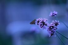 Close-up Of Moth On Purple Flowers