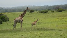 Profile Of An Adult Giraffe Standing Motionless In The Foreground With Another Adult Giraffe Moving Slowly In The Distance.