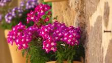 Hybrid Verbena (Verbena Hybrida) Belongs To The Verbenaceae Family. This Is A Perennial Plant Obtained By Crossing Several Types Of Verbena. In Culture, It Is Usually Grown As An Annual Plant.