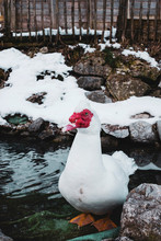 White Domesticated Muscovy Duck In Snowy Winter Pond.