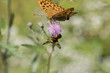 Argynnis paphia , kolorowy motyl