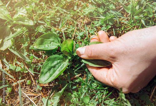 Tablou Canvas Woman hand picking Plantago major, broadleaf plantain, white man's foot, or greater plantain fresh plant leaves for herbal remedy