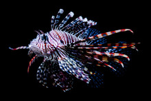 Sea Lion Fish On Dark Background